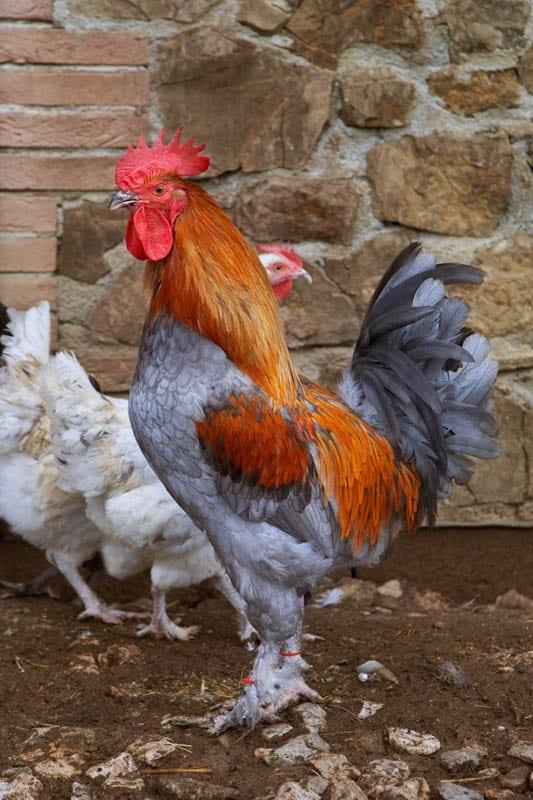 Gallo razza Marans (blu ramato) - Agriturismo Poggio Diavolino