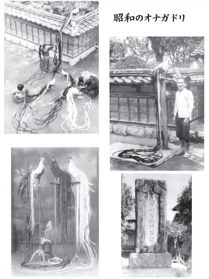 Archivio fotografie storiche riferite a galli di razza Onagadori