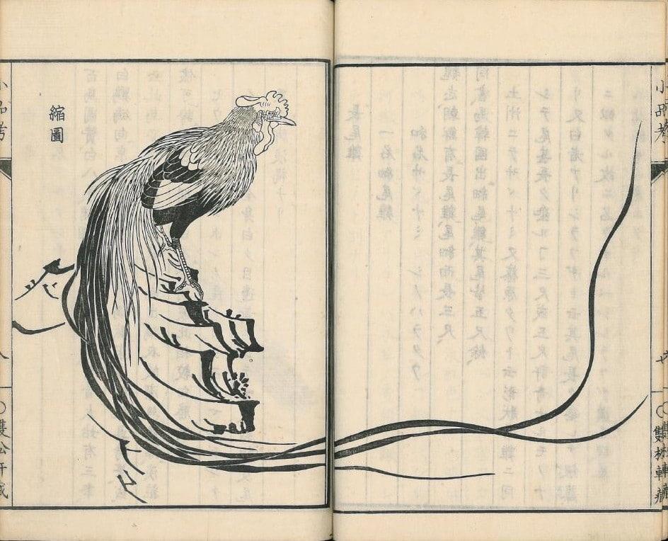 Raffigurazione di gallo di razza Onagadori dalla coda-lunga