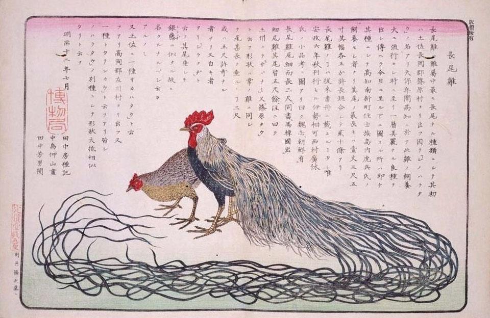 Raffigurazione di gallina e di gallo di razza Onagadori dalla coda-lunga