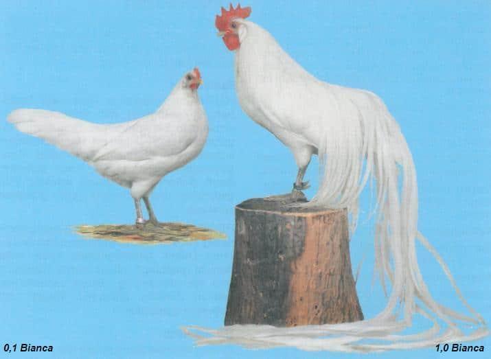 Gallina e Gallo Onagadori di colorazione bianca