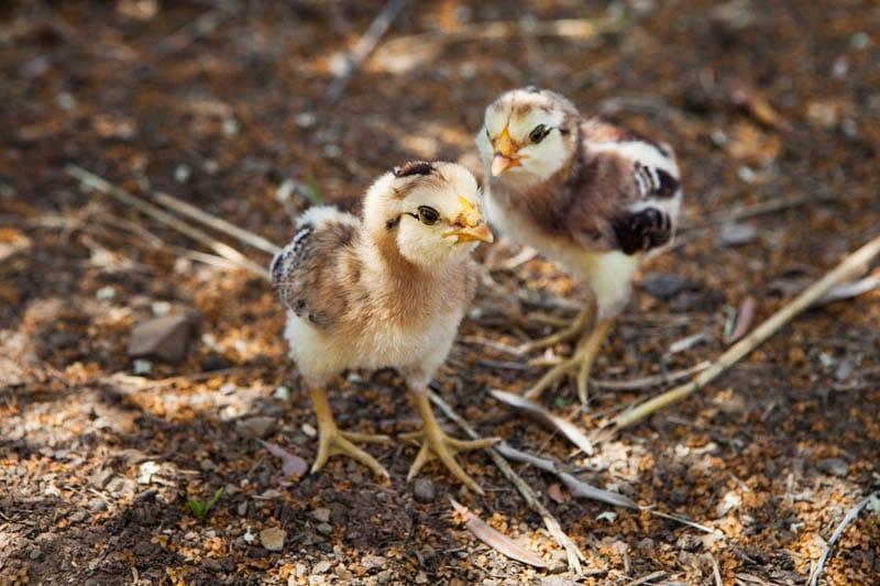 Pulcini razza Araucana - Agriturismo Poggio Diavolino