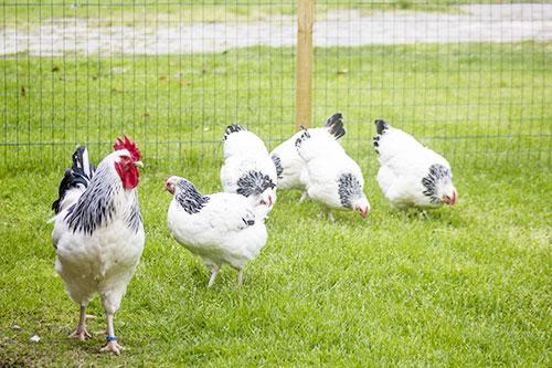 Razza Sussex, gallo e galline