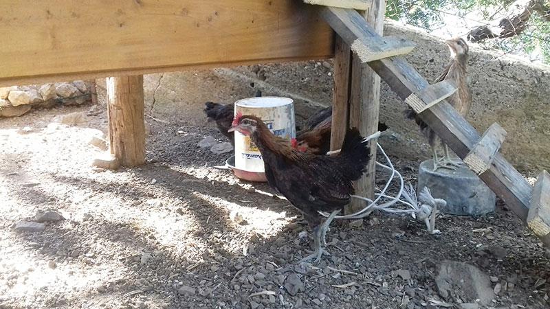 allevamento gallina siciliana