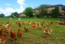 Gerre del Sole - Allevamento galline ovaiole