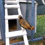 Allevamento PIO BIO, gallina razza Sebright