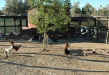 Casa del Gallo, allevamento avicolo