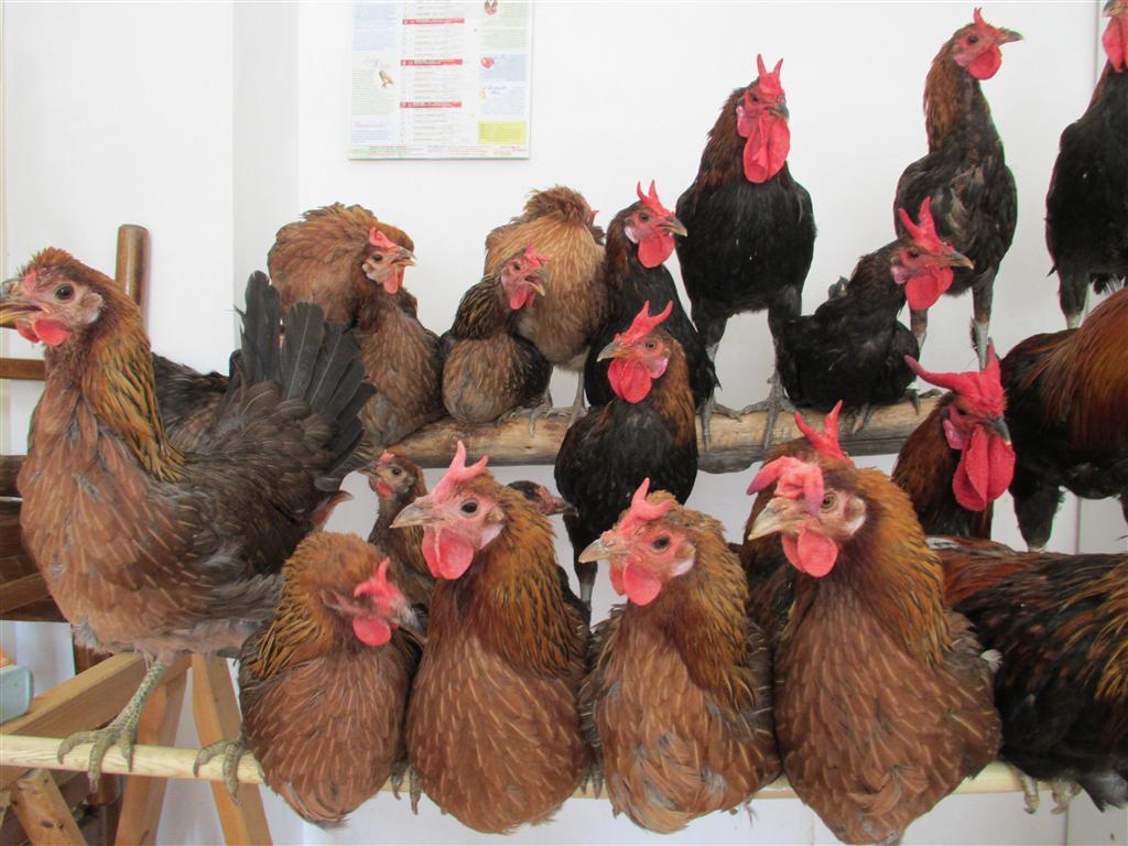 Pollastri e pollastre di razza Cornuta di Caltanissetta