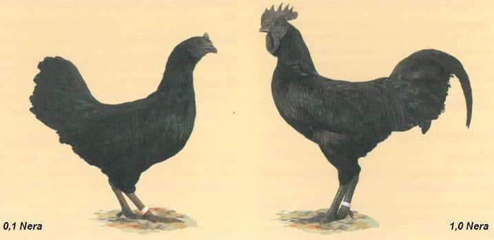 Gallina e Gallo neri di razza Cimani nello standard FIAV