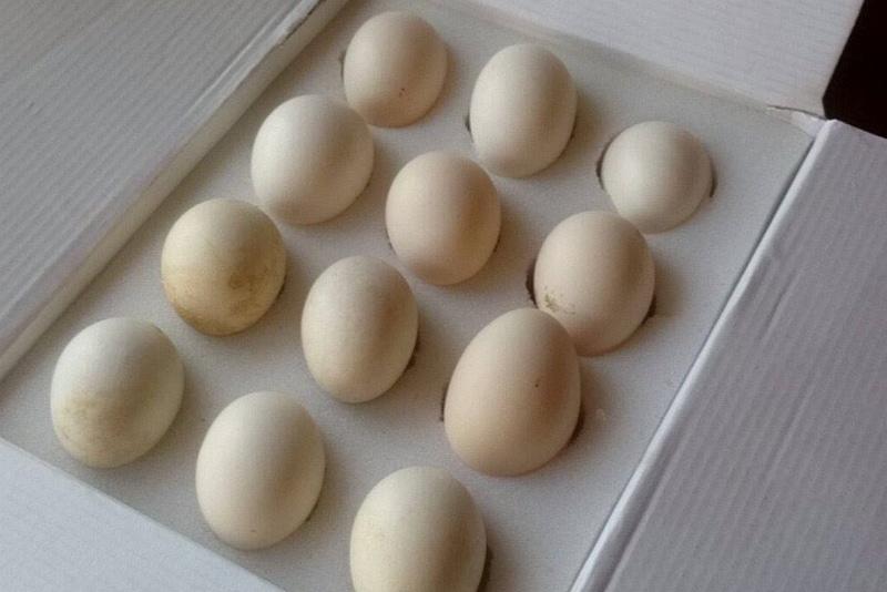 Uova di Cemani del colore crema chiaro accettato dallo standard