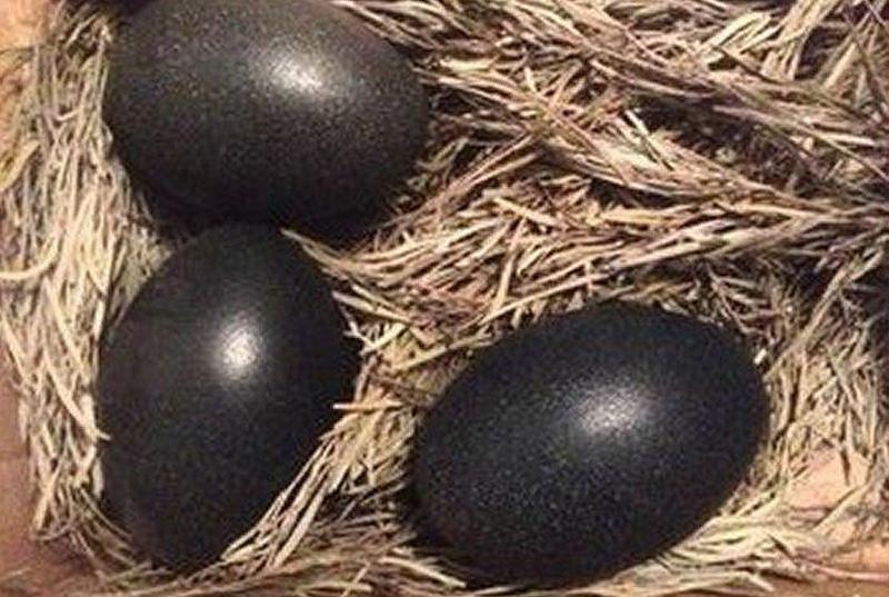 Uova nere di Cemani non aderenti allo standard di razza