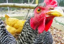 Curiosità sulle galline | Tuttosullegalline.it