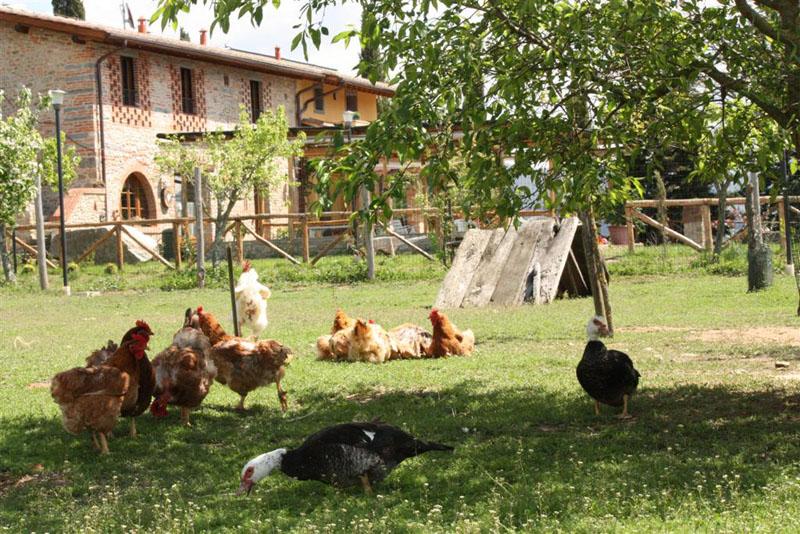 Allevamento di galline felici all'aperto per la produzione di uova biologiche