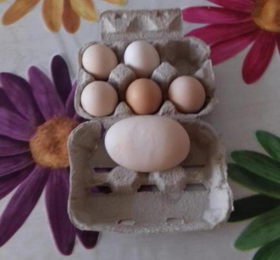 Uovo con 5 tuorli deposto da gallina padovana in allevamento a Guasticce (Livorno)