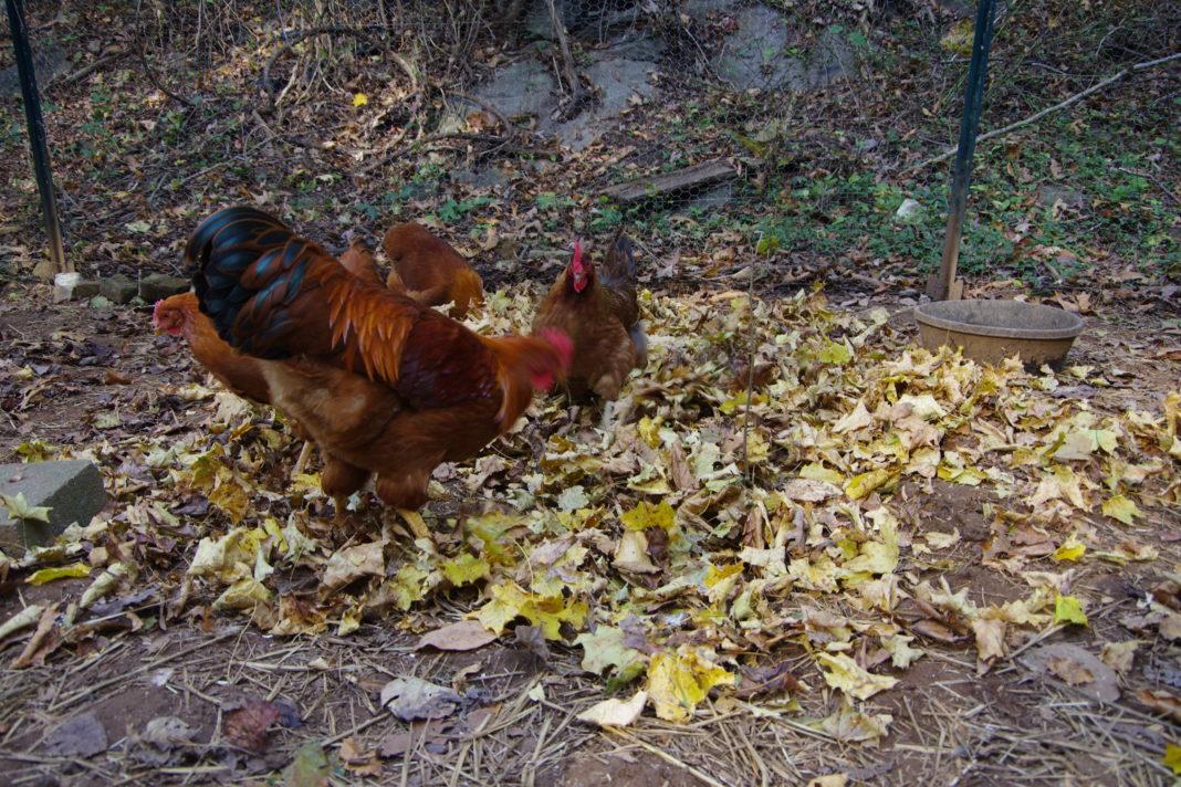 Il razzolare delle galline nel cumulo di foglie secche