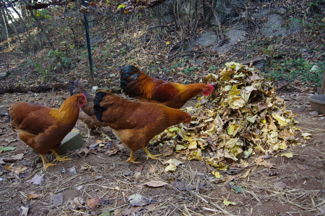 Irresistibile cumulo di foglie secche autunnali per le galline