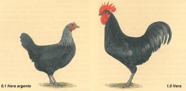 Standard FIAV per la razza Denizli
