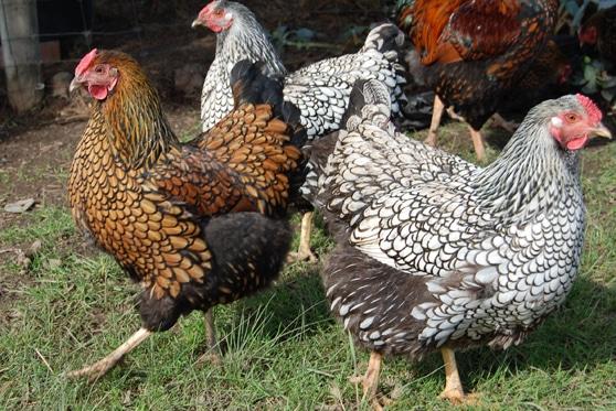 Gruppo di galline Wyandotte oro e argento orlo nero