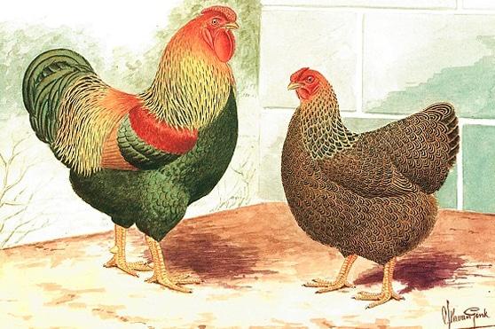 Gallo e gallina Wyandotte perniciata