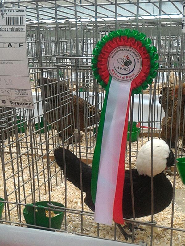 Allevamento galline ornamentali Daniel Antonicelli