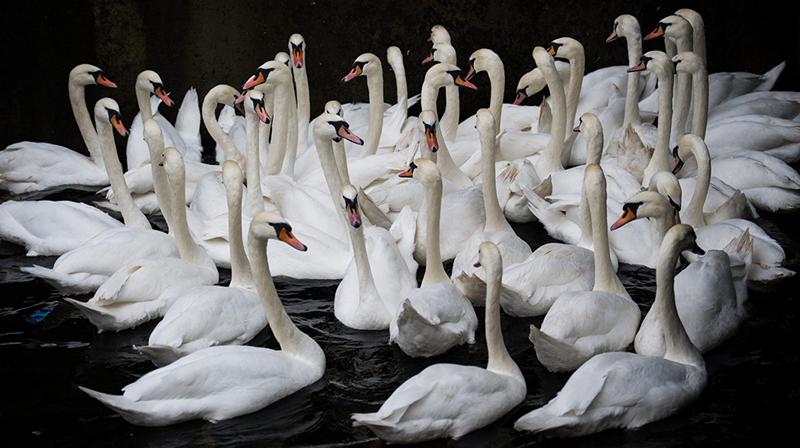 I famosi cigni del Lago Alster di Amburgo