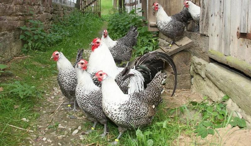 Gallo e galline di razza Amburgo, argento fiocchi neri