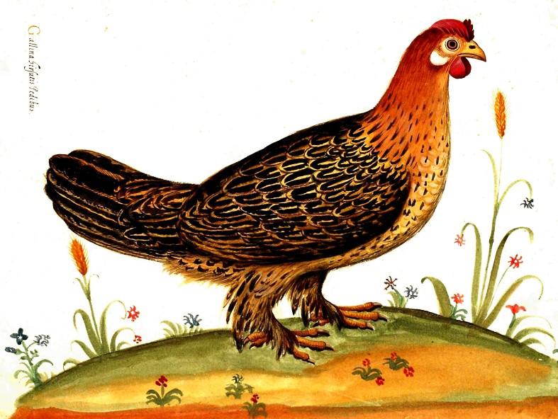 Gallina hirsutis pedibus (Acquarello di Ulisse Aldrovandi)