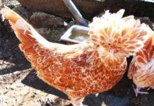 Fattoria didattica La Crucca | Allevamento galline razza Padovana, Moroseta, Cocincina, Olandese, Sebright