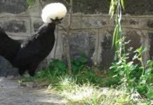 Olandese ciuffata, la gallina ornamentale più famosa d'Europa | Tuttosullegalline.it