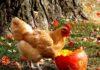 Riciclare la zucca (di Halloween) come alimento per le galline del proprio pollaio | Tuttosullegalline.it
