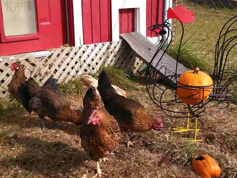 Pollaio domestico con pascolo per galline arredato da zucche
