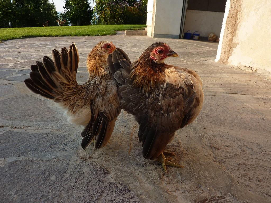 Serama gallina ornamentale, Luca Grandi, Trento