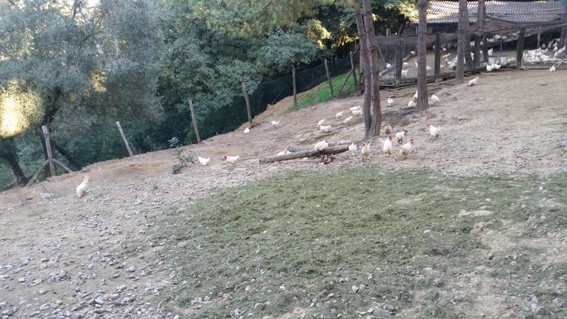L'area recintata del pascolo libero a terra