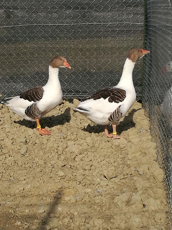 Fattoria di Campagna, allevamento galline ovaiole e ornamentali