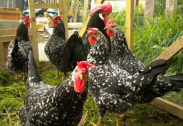 galline ovaiole di razza Ancona