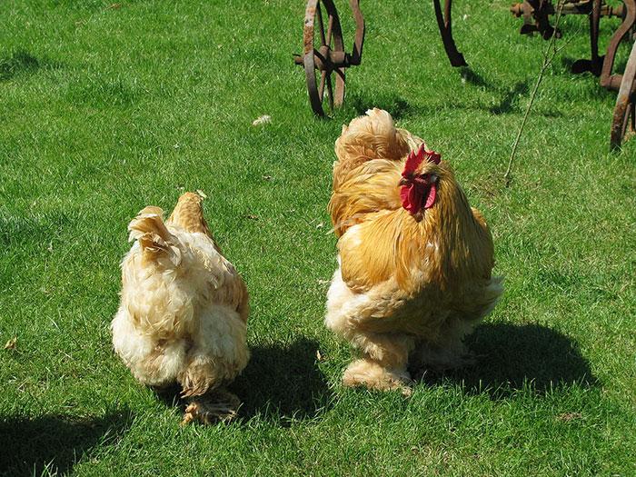 galline ovaiole di razza Cocincina