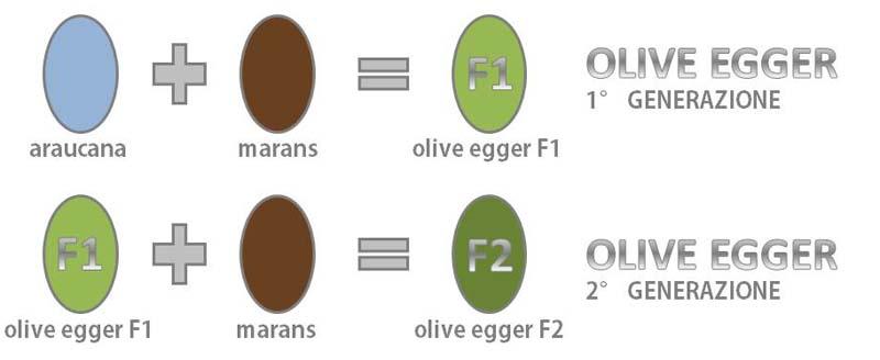 Scheme di ibridazione delle olive egger per ottenere l'uovo verde oliva dal colore intenso