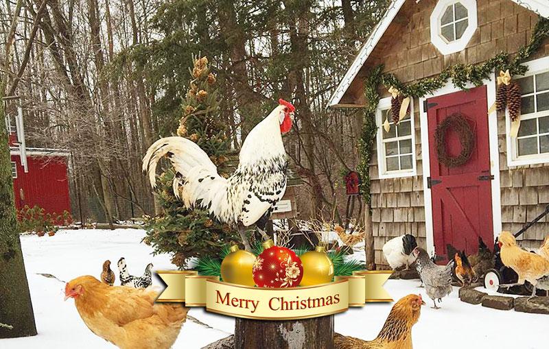 Buona Natale... con le galline del pollaio