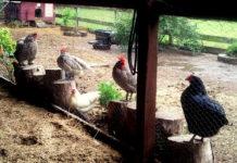 Fango nel pollaio: perché è importante eliminarlo e come fare | Tuttosullegalline.it