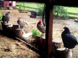 Fango nel pollaio: perché è importante eliminarlo e come fare   Tuttosullegalline.it