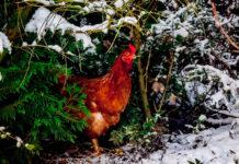 Galline (americane) che amano gli alberi di Natale | Tuttosullegalline.it
