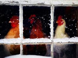 Video divertenti di galline sulla neve | Tuttosullegalline.it