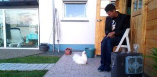 Video divertenti di galline Silkie (Moroseta) | Tuttosullegalline.it