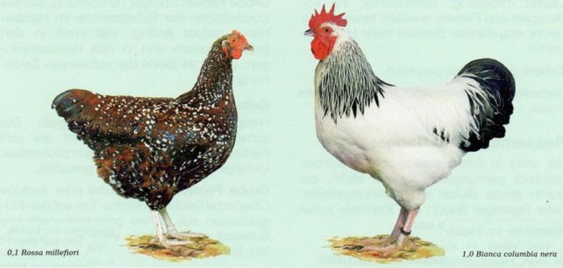 Standard Italiano FIAV per galline e galli di razza Sussex
