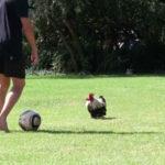 Video divertenti di galline e galli che giocano a calcio | Tuttosullegalline.it