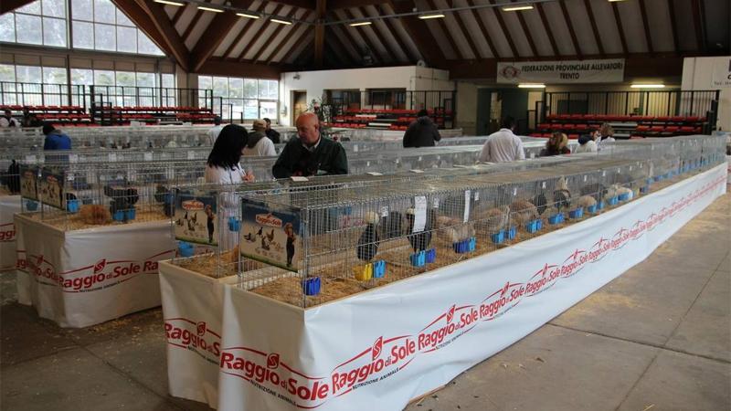 L'allestimento dell'esposizione avicola di Trento completato