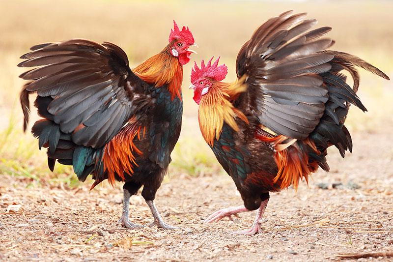 Molto problematico aggiungere un nuovo gallo adulto in un pollaio