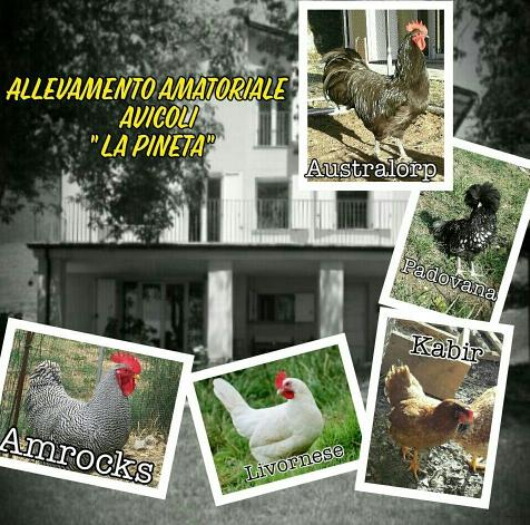 Allevamento amatoriale avicolo La Pineta (Parma), galline ovaiole e ornamentali