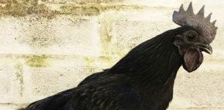 Allevamento avicolo I Galli della Dea Fortuna, gallina ornamentale Cemani