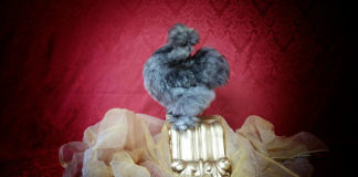 Il Diamante di Seta | Allevamento galline Moroseta, Barbute d'Uccle e Indio giganti | Perugia, Umbria